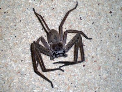 huntsman spider bite. Huntsman spiders visit quite