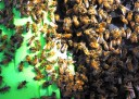 Swarming honey bees