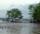 Mangrove trees at Pasir Ris