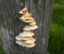 Fungi on a fence post Gerringong NSW