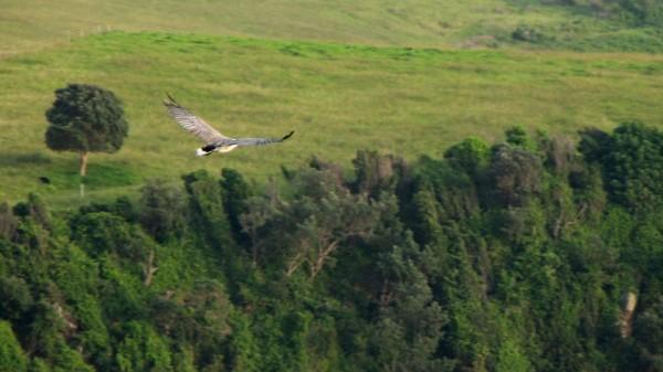 Sea-eagle Kiama NSW
