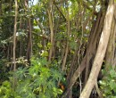Thick vegetation on Pulau Ubin ~ Fig tree