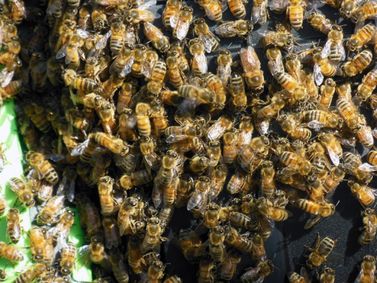 The bees forming a mass of excitement on the compost bin.